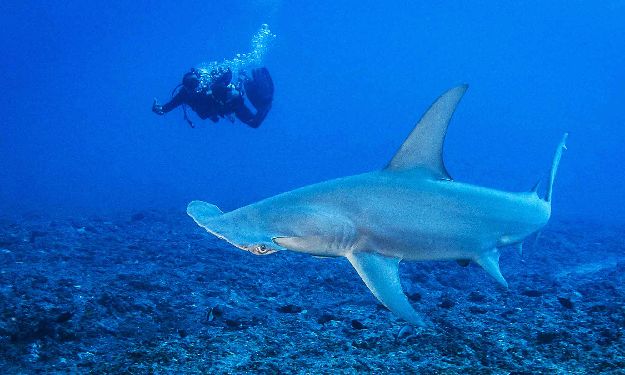Dive with Hammerhead Sharks in Rangiroa