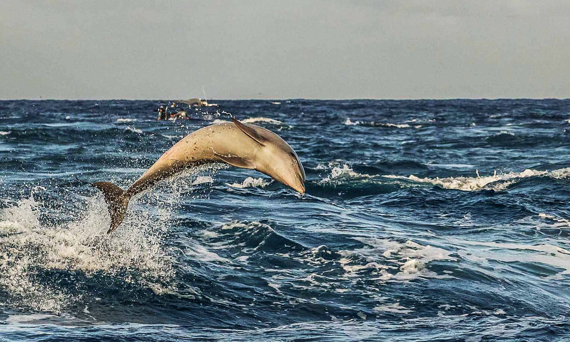 Dolphins jumping in the Tiputa Pass - a famous Rangiroa sight!