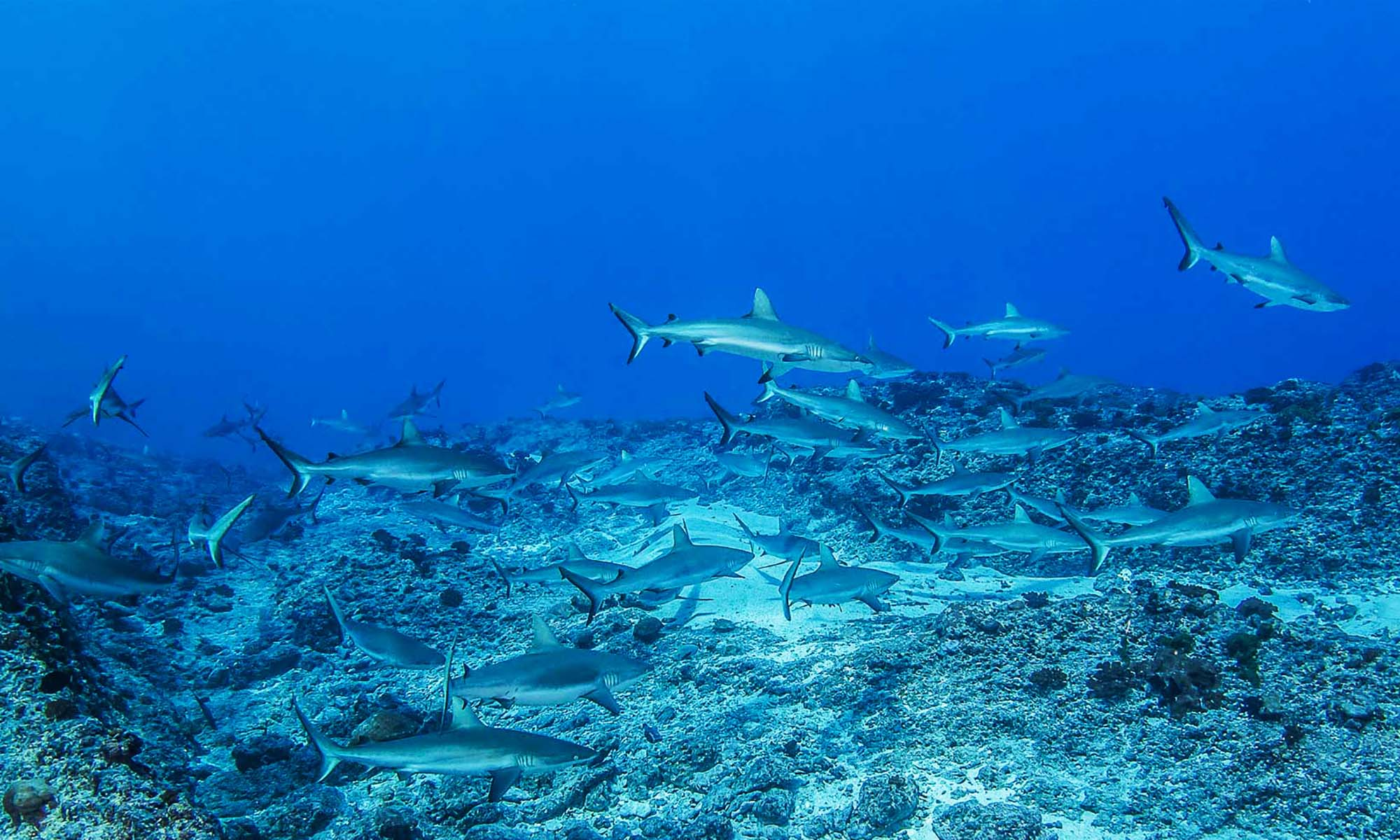 Dive with Sharks in the passes of Rangiroa