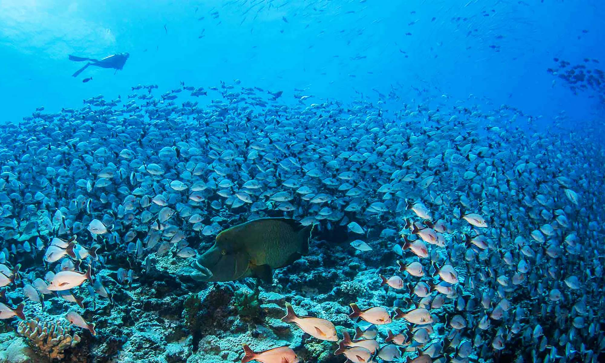 Dive amongst massive schools of fish in the famous passes of Rangiroa