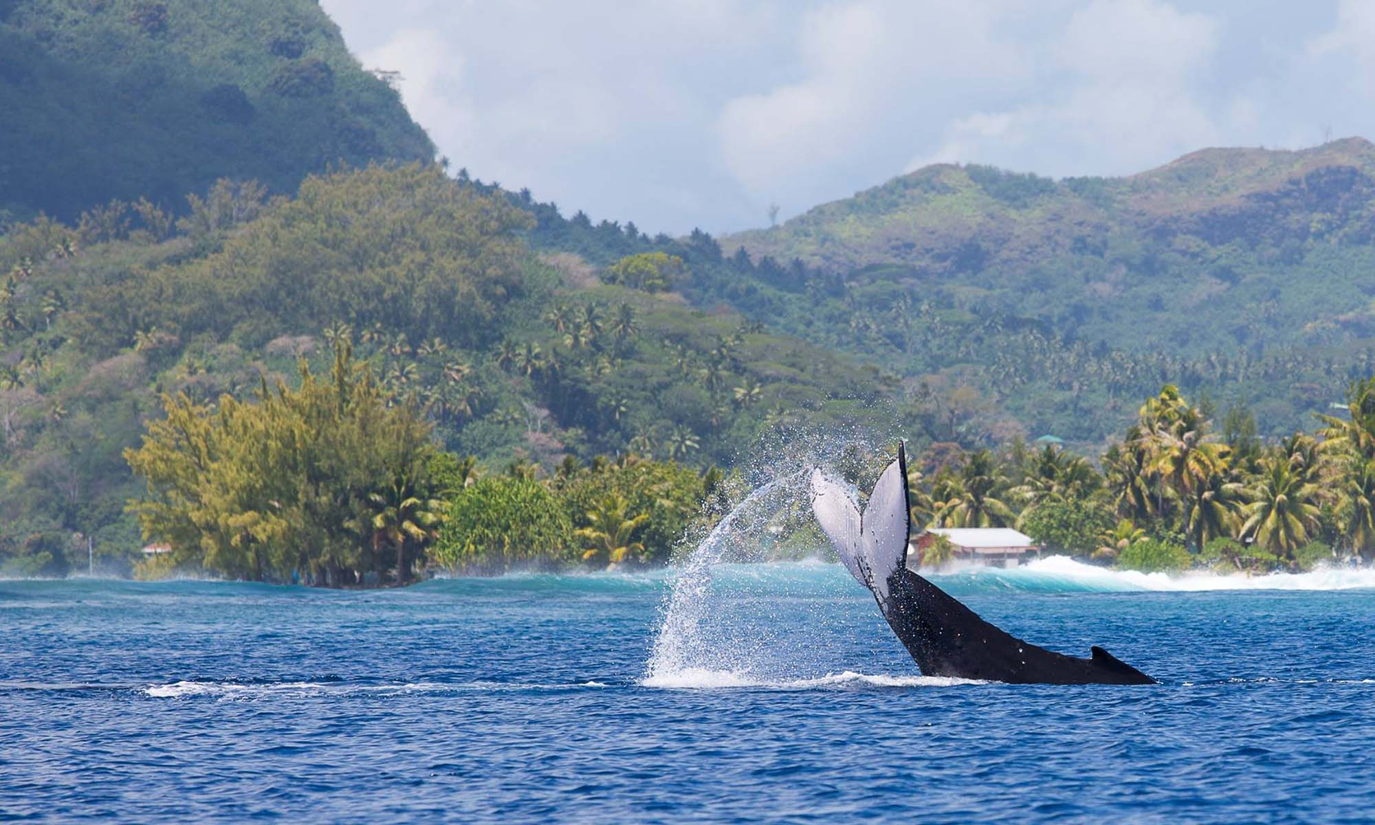 Whale Watching on Bora Bora