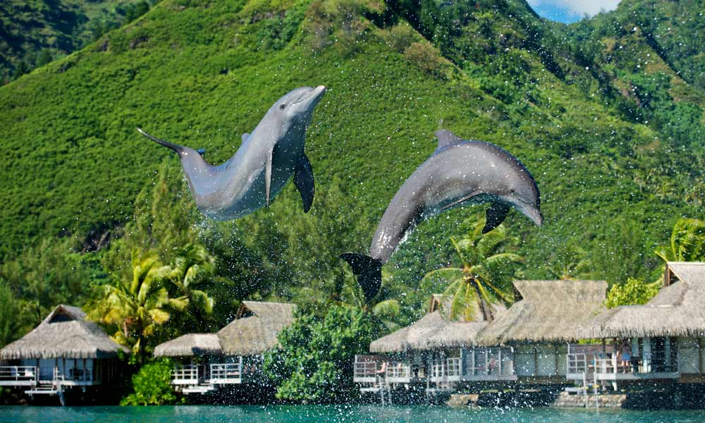 InterContinental Moorea Resort and Spa, Dolphins