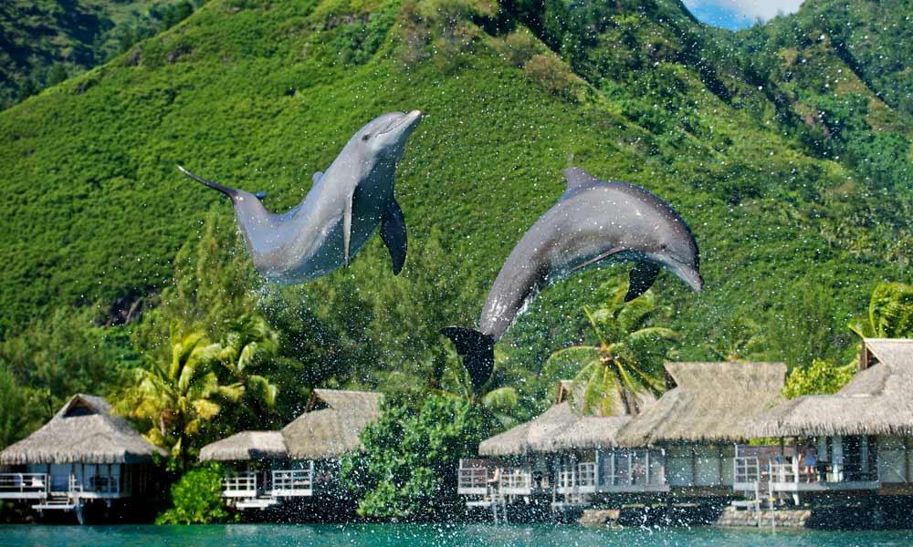 Swim With The Dolphins Tahiti Com