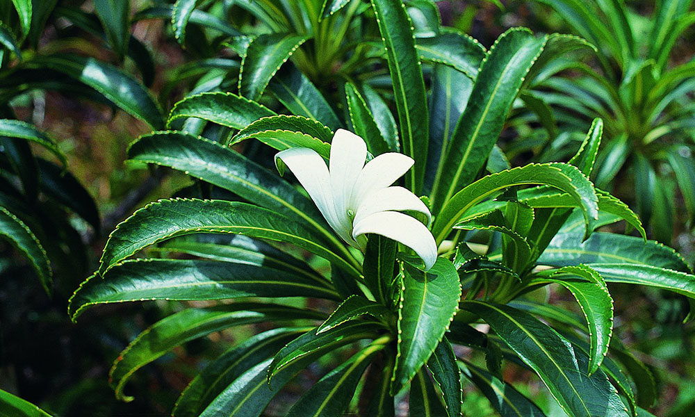 The Sacred Tiare Flower That Can Only be Found on Raiatea