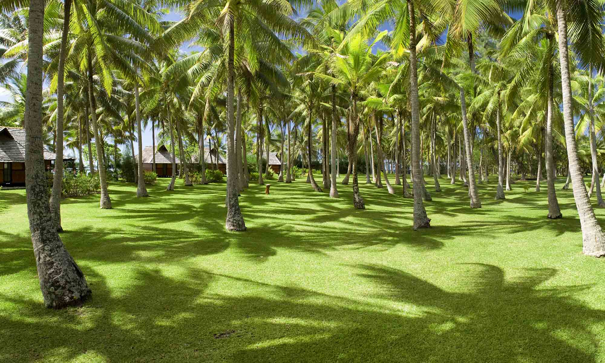 Coconut Tree Groves on Vahine Island