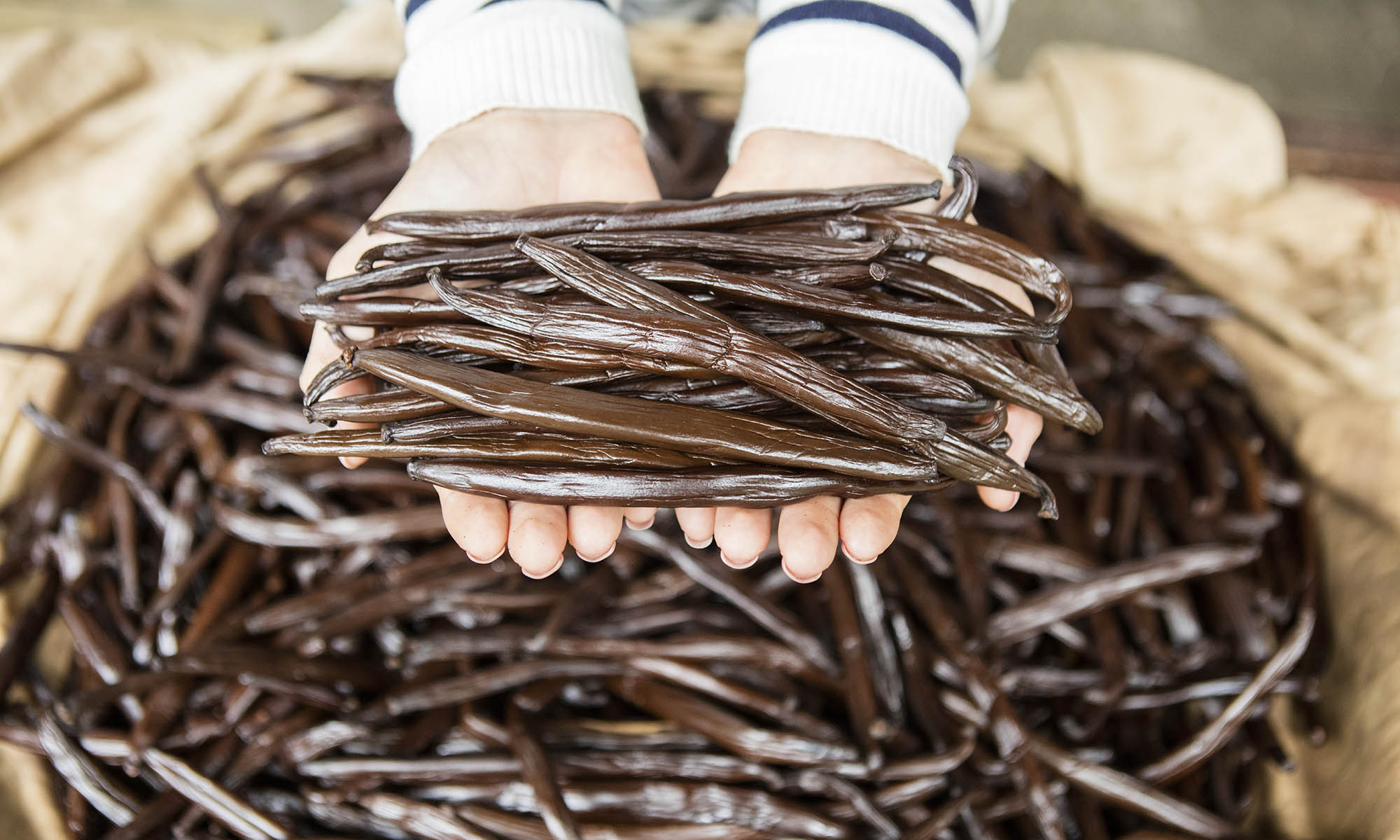 Fresh Vanilla Beans from Taha'a's Vanilla Plantations