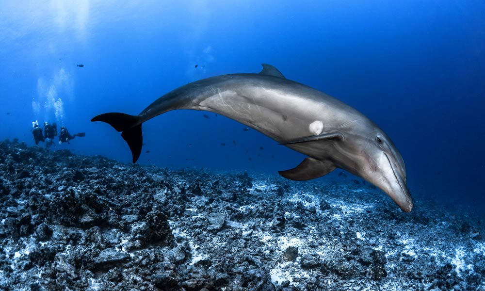 TopDive dolphin